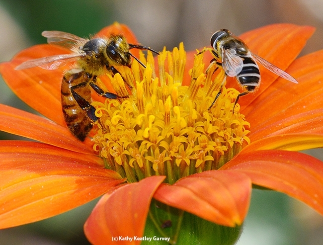 Honey bee and syrphid fly